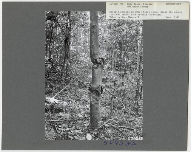 Forest Diseases - Connecticut