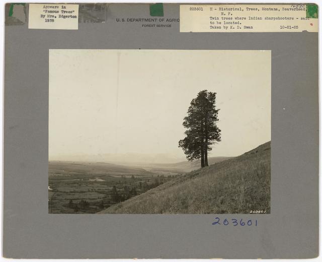 Historical Trees - Montana
