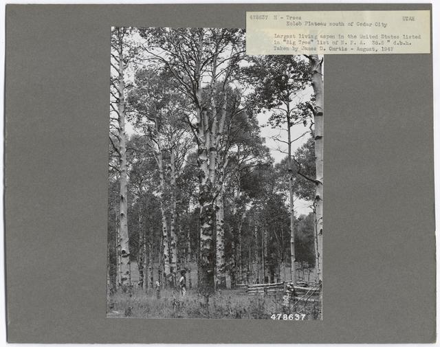 Historical Trees - Utah