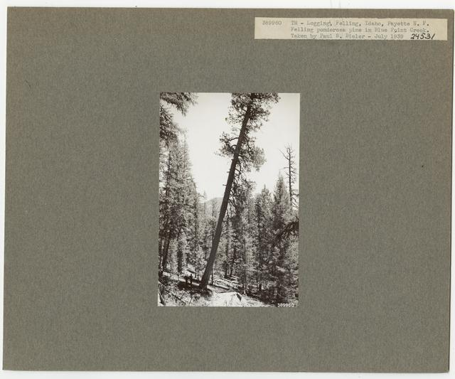 Logging: Felling - Idaho