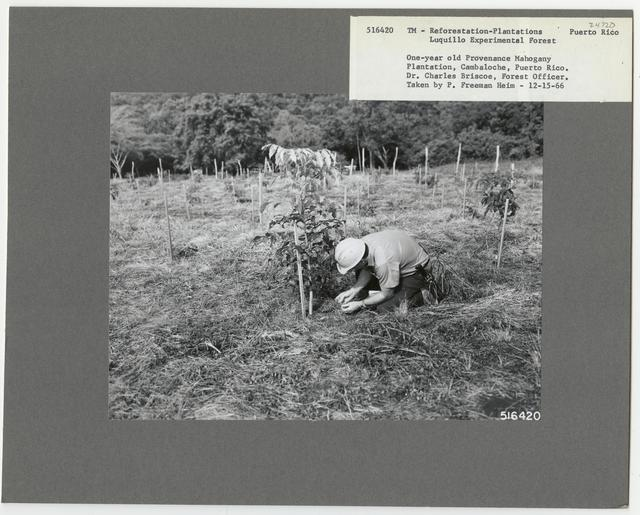 Reforestation: Plantations - Puerto Rico