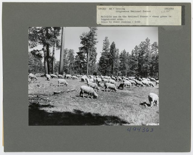 Sheep Grazing - Arizona