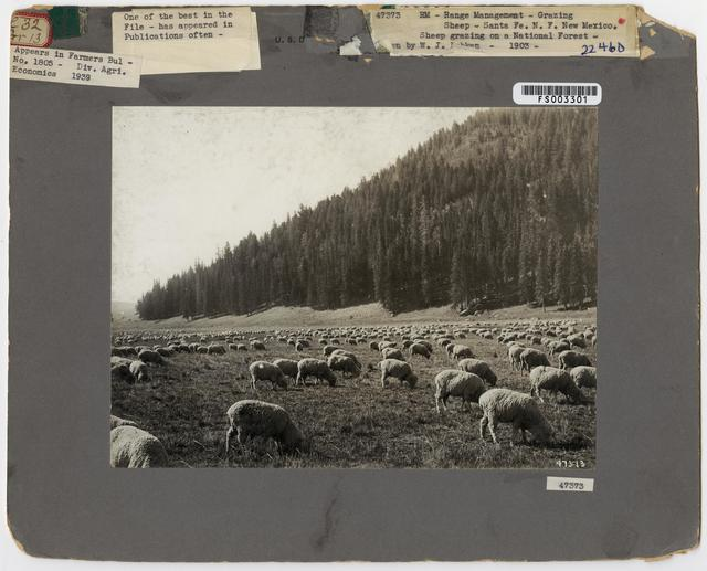 Sheep Grazing - New Mexico