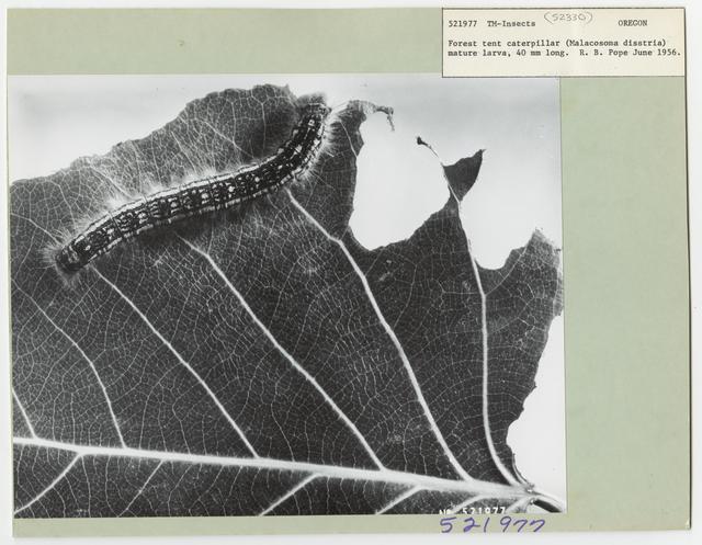 Tent Caterpillars - All States