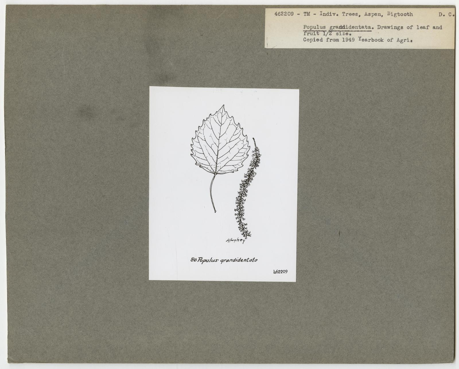Tree Identification - Aspen