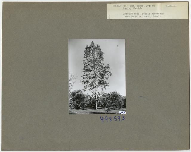 Tree Identification - Avocado
