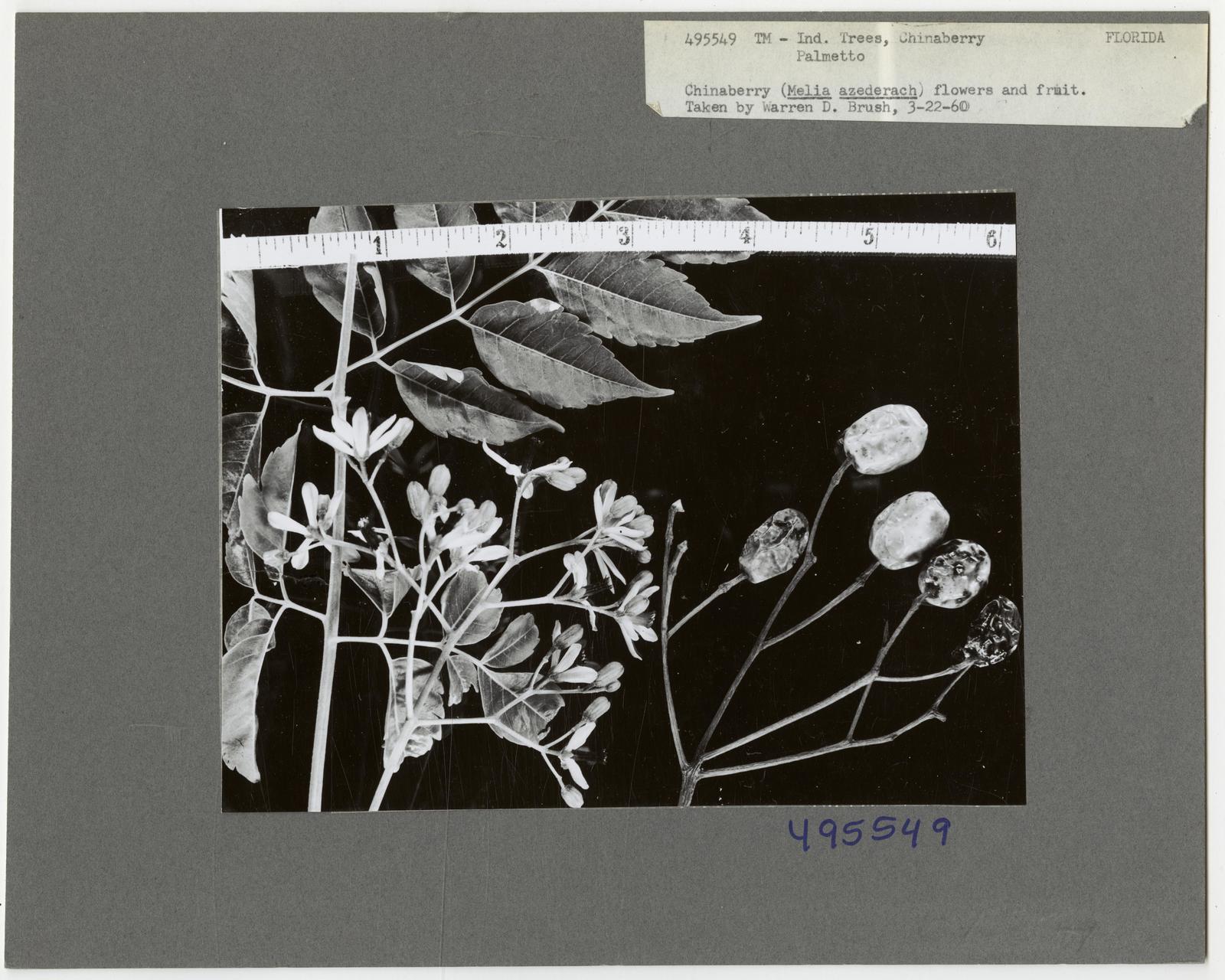 Tree Identification Chinaberry Picryl