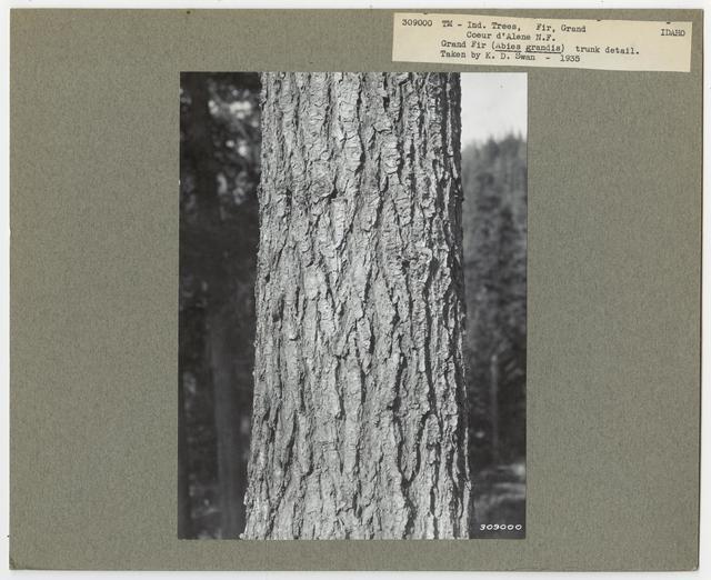 Tree Identification - Fir- Grand