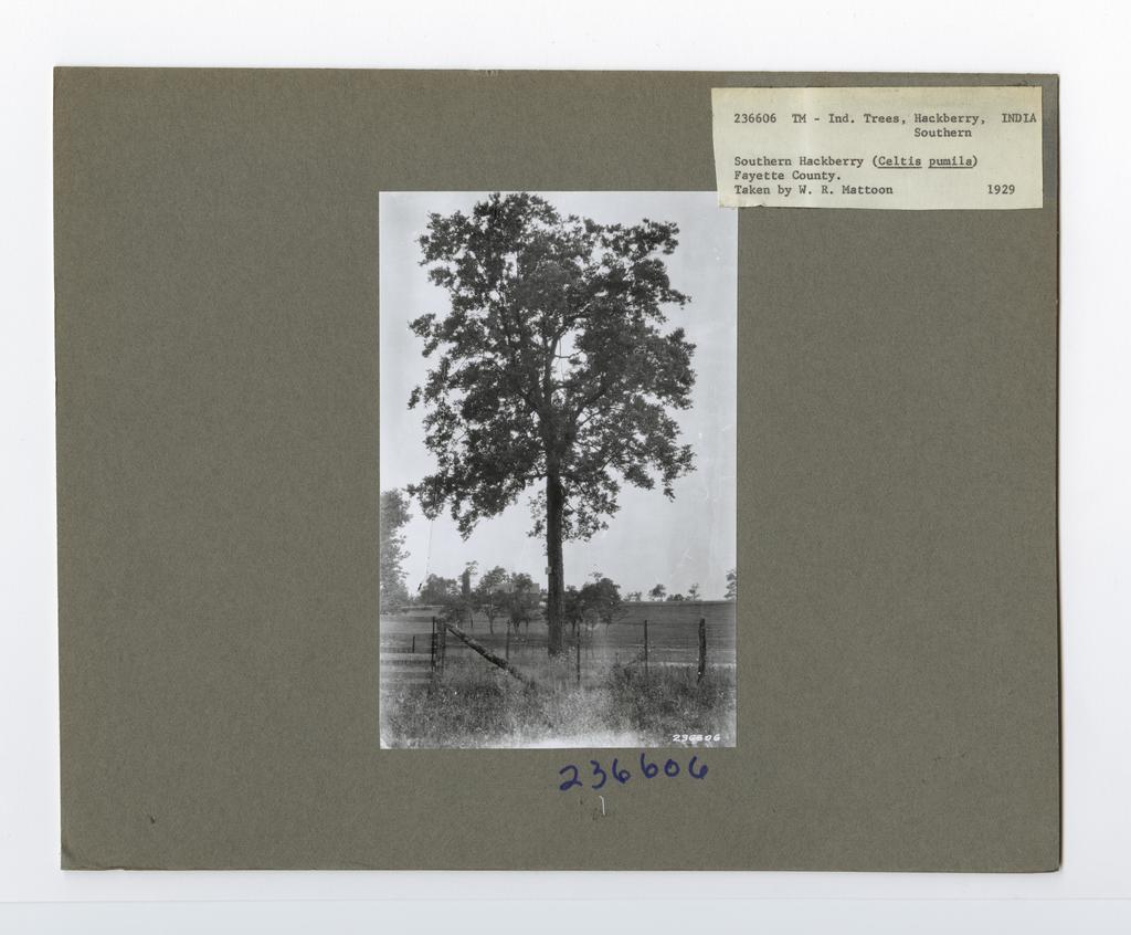 Tree Identification - Hackberry
