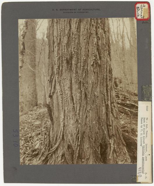 Tree Identification - Locust