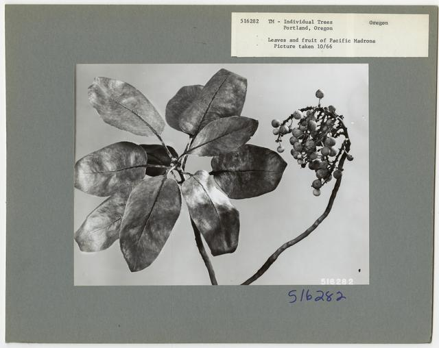 Tree Identification - Madrone: Pacific