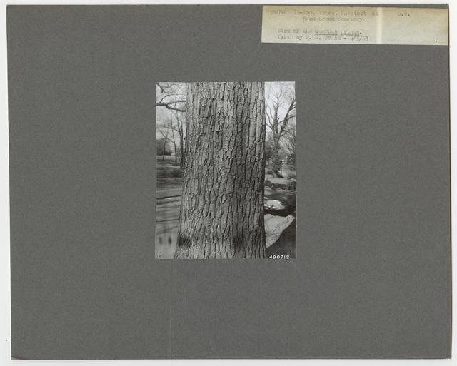 Tree Identification - Oak: Chestnut