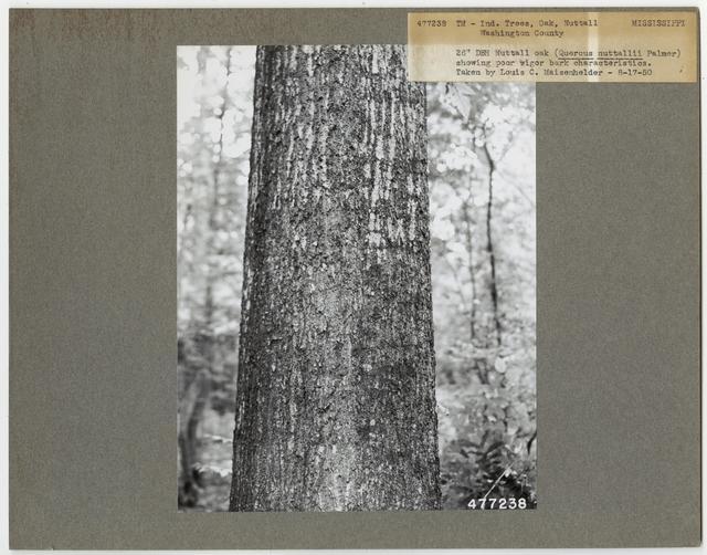 Tree Identification - Oak: Nuttall