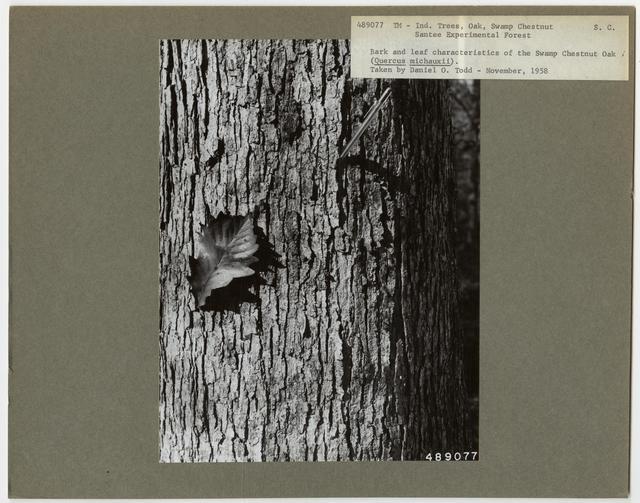 Tree Identification - Oak: Swamp Chestnut