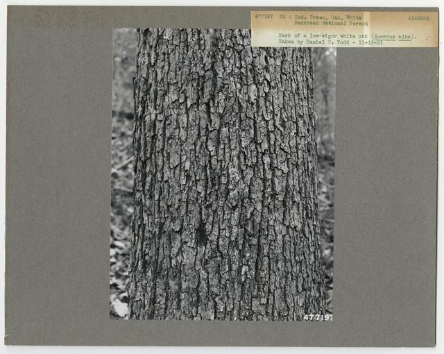 Tree Identification - Oak: White