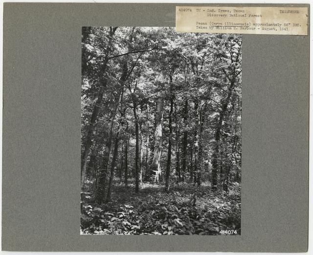 Tree Identification - Pecan