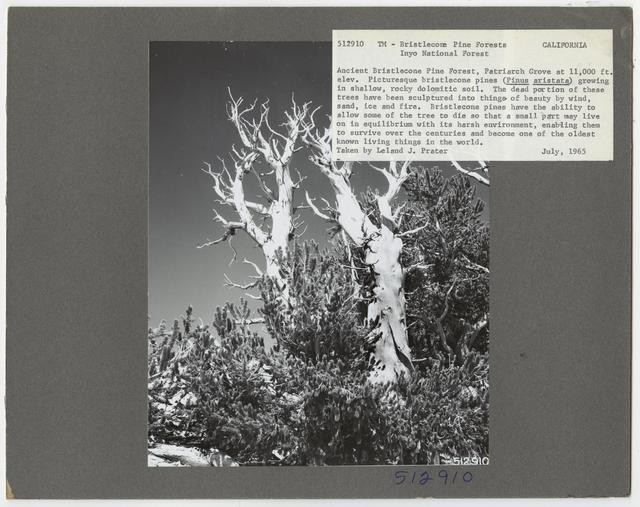Tree Identification - Pine, Bristlecone