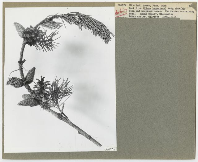 Tree Identification - Pine, Jack