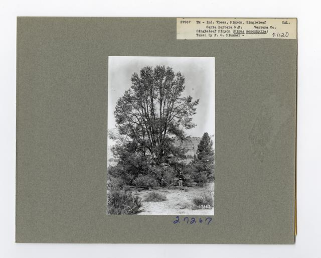 Tree Identification - Pine, Pinyon