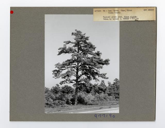 Tree Identification - Pine, Pitch