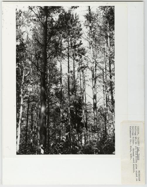 Tree Identification - Pine, Scotch