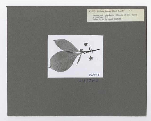 Tree Identification - Tupelo: Black