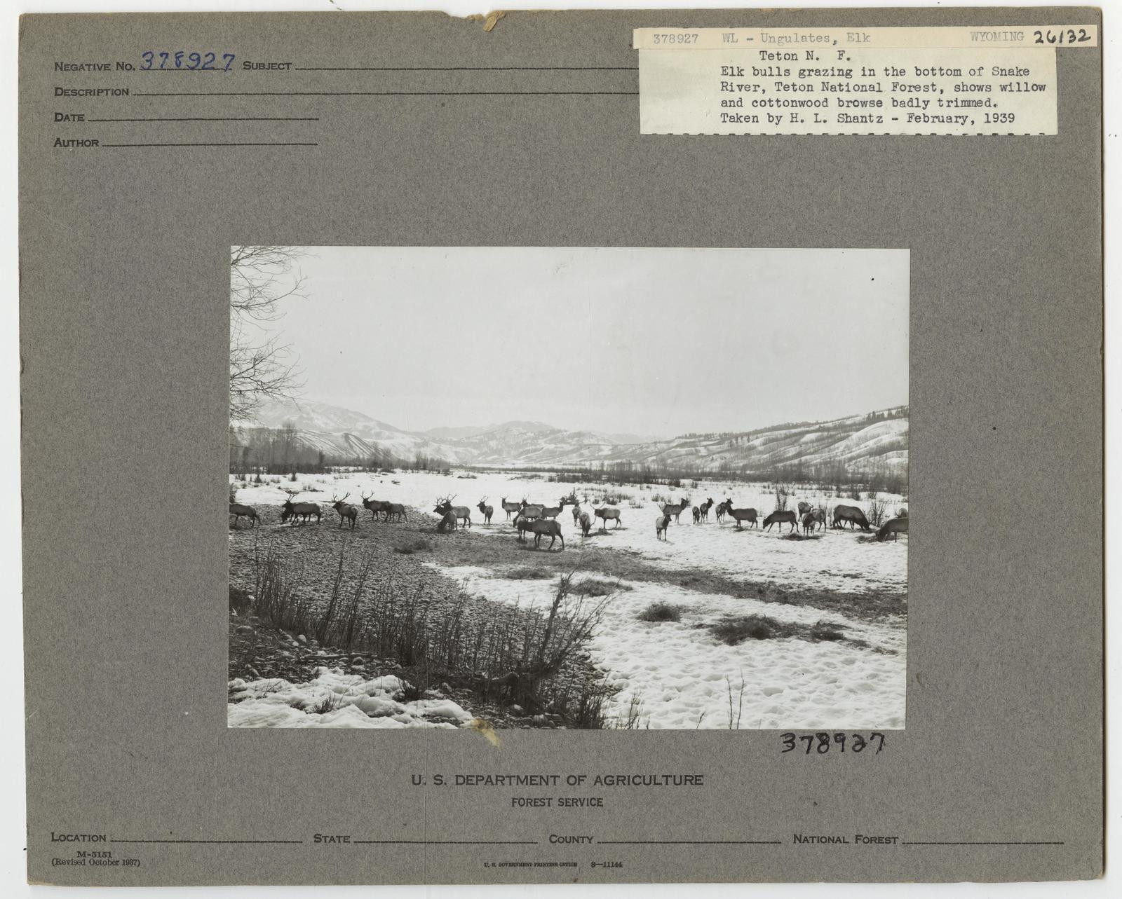 Ungulates: Elk - Wyoming