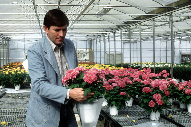 Bob Hathaway, chief horticulturist for the Cherokee Nation works with chrysanthemums at the Cherokee Nation of Oklahoma nursery. Hathaway is also a commander in the Naval Reserve with Voluntary Training Unit 7070 at Naval Air Station, Dallas, Texas