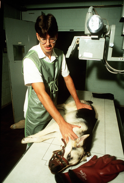 A1C Kenneth Slakich positions a German shepherd for an X-ray. The dog, a new arrival at the Department of Defense Dog Center, is being X-rayed to determine any bone disorders, especially in the hips