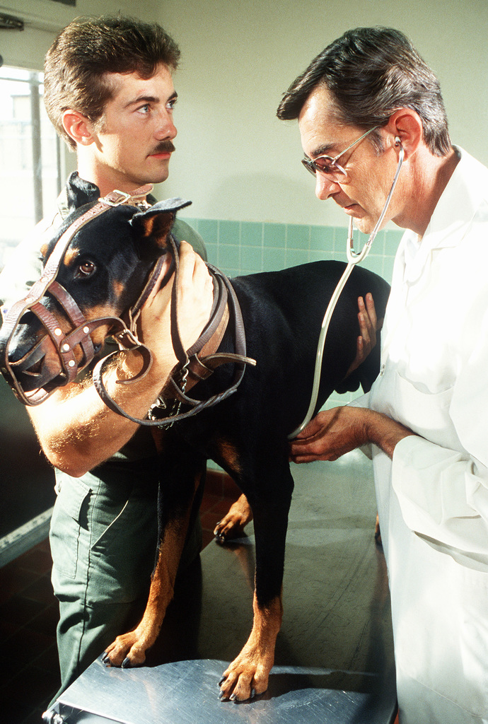 LCOL Lee Townsend examines a Doberman pinscher, with the assistance of a handler. The dog has just arrived at the Department of Defense Dog Center and is being given a thorough examination at the veterinary clinic