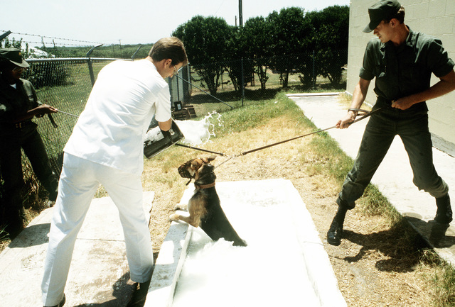 Personnel at the Department of Defense Dog Center dip a German shepherd in tub of flea and tick solution
