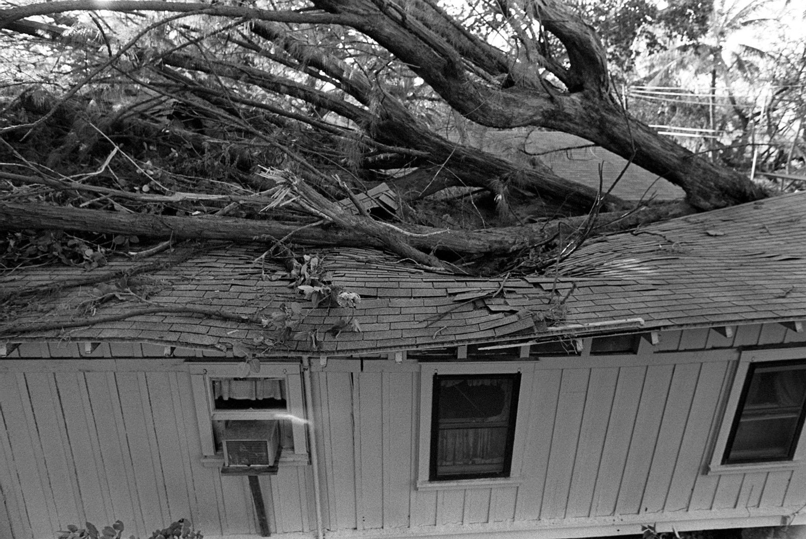 A large tree fell through the roof of this house during by Hurricane Iwa