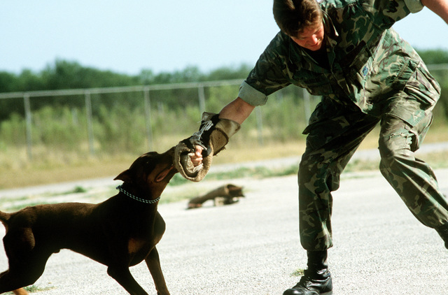 A Doberman pinscher is taught to attack on command at the Department of Defense Center