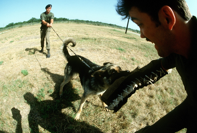 A handler holds the leash of a German shepherd being trained to attack on command at the Department of Defense Center. Instruction and training on how to control the dogs is provided to the handlers
