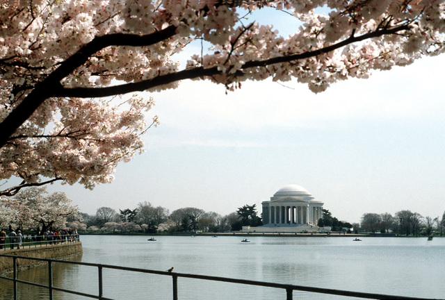 A view of the Jefferson Memorial framed by blossoming cherry trees along the Tidal Basin