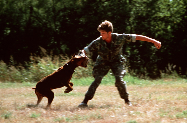 A patrol dog is trained to bite by a dog handler from the 3282nd Technical Training Squadron of the Air Force Security Police Academy. The airman's arm is protected by an attack sleeve. The 3282nd trains patrol, drug detection, and explosives detection dogs for all the military services and other government agencies