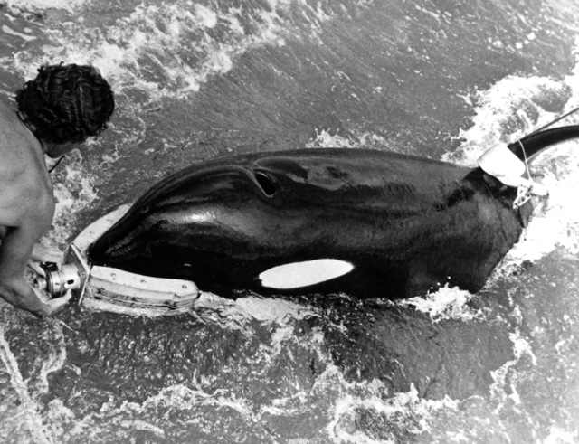 Ishmael, a killer whale, returns a grabber device to its trainer after successfully recovering a piece of inert ordnance during the Deep Ops project