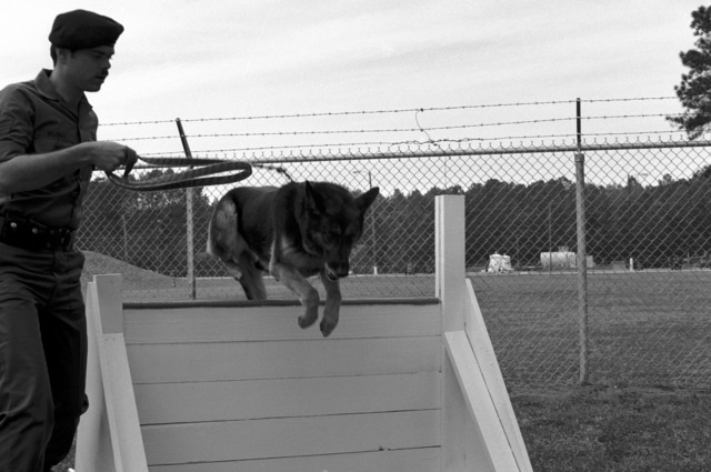 STAFF Sergeant (SSGT) McGee of the 345th Security Police Squadron exercises his K-9 dog on the obstacle course during proficiency training