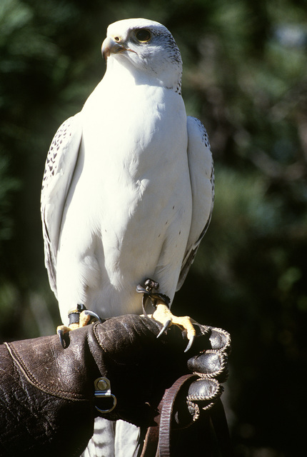 U.S. Air Force Academy. A prairie falcon, the official mascot of the U.S. Air Force Academy, perches on a trainer's glove. Each year 12 cadets raise and train four falcons for demonstrations at Academy football games