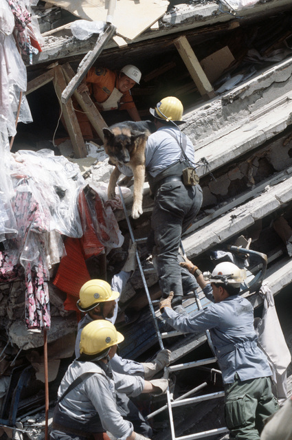 A rescue worker carries a dog up to an opening in a collapsed building to smell and listen for trapped victims during an international disaster relief effort following a major earthquake
