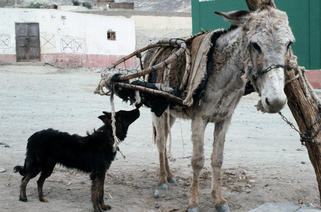 A local dog encounters a donkey.  The donkey is the chief means of transportation used by local residents