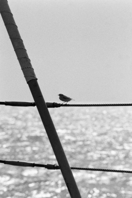 A small bird is perched on a rail aboard the ocean minesweeper USS ILLUSIVE (MSO 448). The ILLUSIVE is one of three minesweepers being towed to the Persian Gulf to support US Navy escort operations