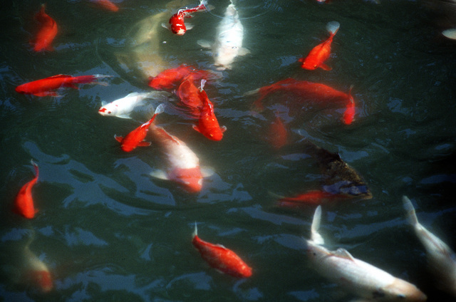 A view of Koi, Japanese fish, swim in their water pond. Exact Date Shot Unknown