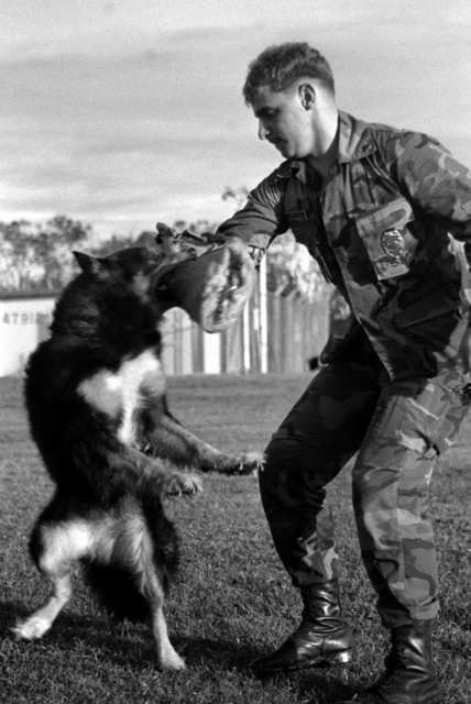 LCPL Steven Cantelli, a military policeman, trains with Blitz, a military working dog used for security patrols and narcotics detection