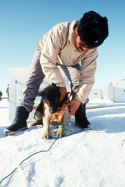 A local hunter harnesses one of the sledge dogs brought from Jakobshavn by an emergency airlift of the 109th Tactical Airlift Group of the New York Air National Guard.  He is from the village of Quanaag, where the entire local population of Huskies was wi