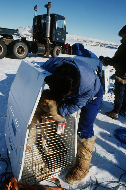 A local hunter removes a sledge dog from its carrier cage.  The Husky is one of the 230 brought from Jakobshavn by an emergency airlift of the 109th Tactical Airlift Group of the New York Air National Guard for the village of Quanaag, where the entire loc