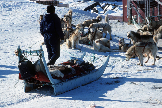 Local hunters depart with sledge dogs brought from Jakobshavn by an emergency airlift from the109th Tactical Airlift Group of the New York Air National Guard.  They are from the village of Quanaag, where the entire local population of Huskies, the source
