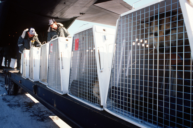 Members of the 109th Tactical Airlift Group, New York Air National Guard, and the 1012th Air Base Group, unload sledge dogs from C-130H aircraft.  After the local Husky population was wiped out in a distemper epidemic, 230 dogs were airlifted to Thule by