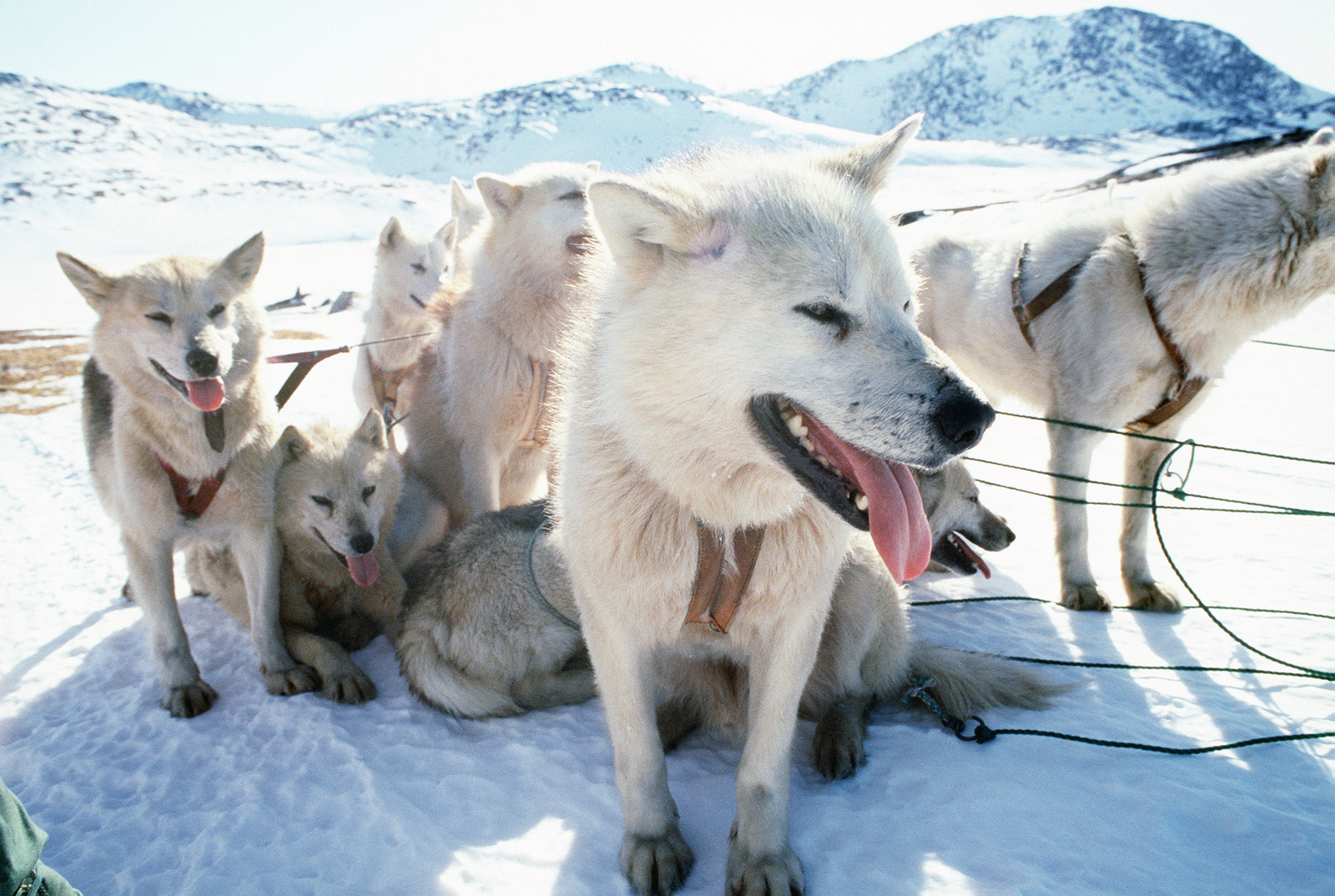 Sledge dogs wait to begin a trip north to the village of Quanaag, where the entire local population of Huskies was wiped out by a distemper epidemic.  The 109th Tactical Airlift Group of the New York Air National Guard flew in 230 dogs for locals, which d
