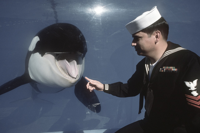 A Sailor poses for a photograph with a killer whale at Sea World